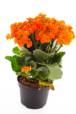 Little orange flowers of rubiaceae tree. Orange flower plant. Cluster flowers ixora.. Stock Photo - 94996280