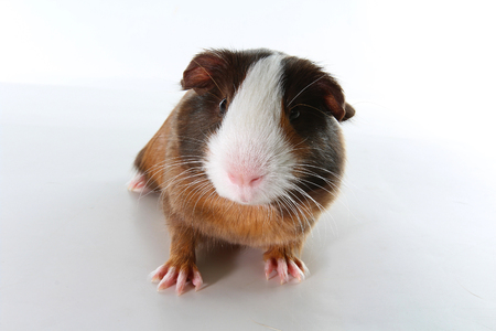 Guinea pig on studio white background. Isolated white pet photo. Sheltie peruvian pigs with symmetric pattern. Domestic guinea pig Cavia porcellus or cavy.