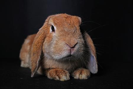 Orange lop rabbit on black isolated studio background. Cute.
