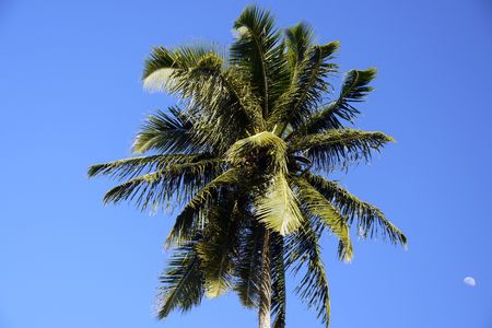 Lonely coconut palm in a blue sky together with the moon at Pointe Source dArgent, La Digue Island, Seychelles photo