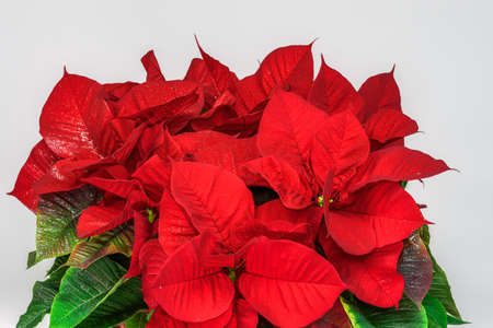 Blossomed Christmas Poinsettia with top bright petals. Seasonal plant with red leaves against white background. Stok Fotoğraf