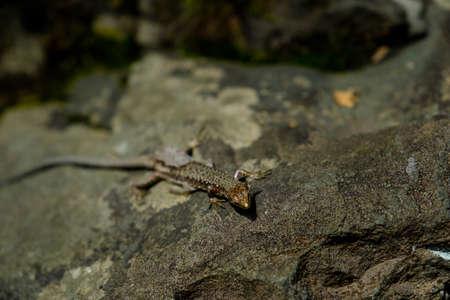 Little lizard on the stones. Wild nature.