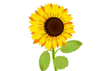 Sunflowers, yellow flowers with isolated white background Reklamní fotografie - 125328717
