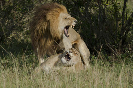 roar: Roar of lion couple after love