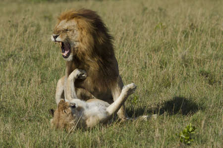 Roar od lions mating in the Masai Mara reserve photo