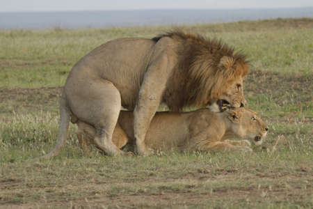 Lions mating in the Masai Mara reserve Stock Photo - 12981773