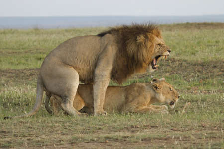 Roar of lions mating in the Masai Mara reserve photo