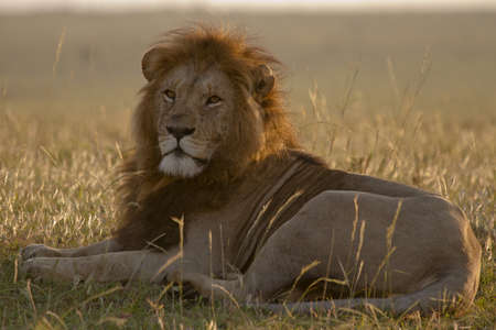 Portrait of Lion at sunset in Masai mara reserve photo