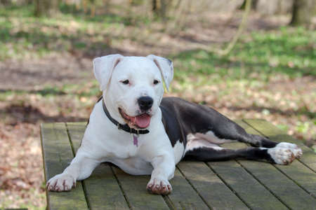 Portrait of amstaff pet dog resting in a park Stock Photo - 18504568