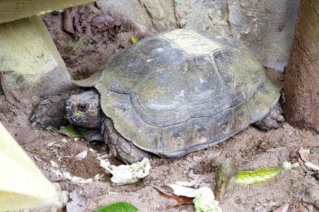 omnivore animal: eye of turtle (selected focus) with its whole body on soil ground
