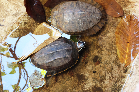 omnivore animal: head of turtle (selected focus) emerges from the water basin with its shell and another turtle