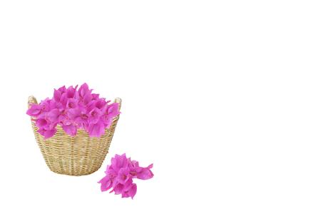 color bougainvillea: pink-purple color Bougainvillea flowers pile in the brown weave basket with other Bougainvillea flowers fall to white background