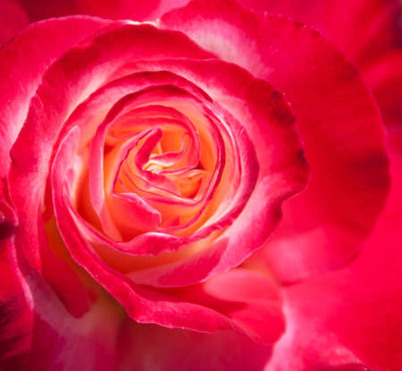 a close-up of the center of a pink rose that has started to bloom photo