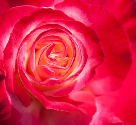 Un gros plan du centre d'une rose rose qui a commencé à fleurir Banque d'images - 22538377