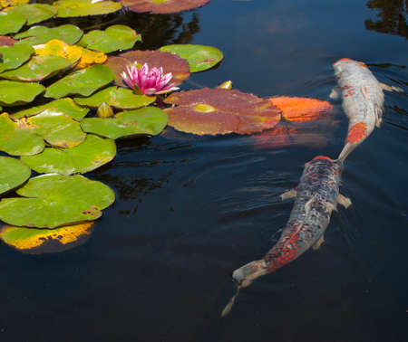 A koi fish pond with lily pads and flowers floating on the water  Two  koi fish,  one black, white, and orange, the other is white and orange, swimming in the dark water