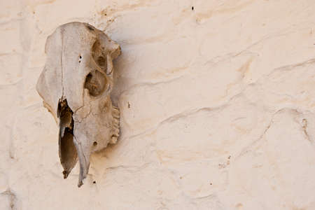 white washed: an old cow skull hanging on the white washed adobe wall  Space to the right for text