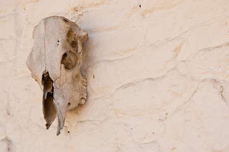 adobe wall: un vecchio teschio di mucca appeso sul bianco lavato spazio della parete di mattoni a destra per il testo
