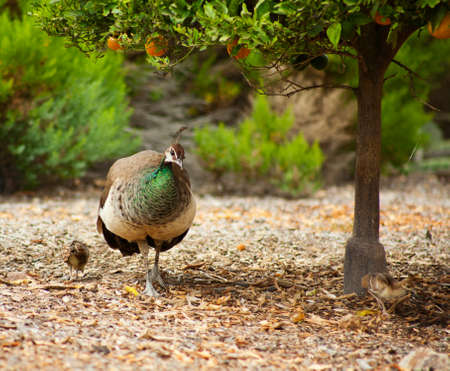 orange grove: Female peacock takes two young chicks out in the orange grove looking for food. Stock Photo