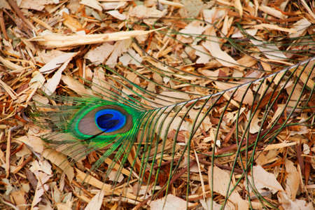 Peacock tail feather with the eye found on the ground covered with bark. Nice background  写真素材