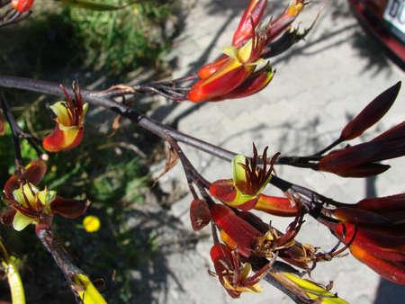 new zealand flax: New Zealand Flax flower Stock Photo