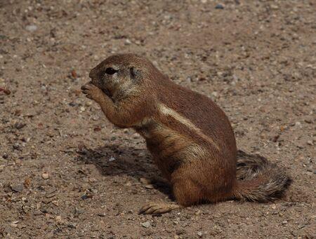 cape ground squirrel: Cape Ground Squirrel (Xerus inauris)