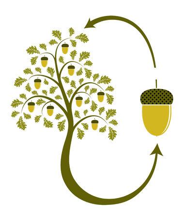 vida natural: ciclo de vida de roble sobre fondo blanco  Vectores