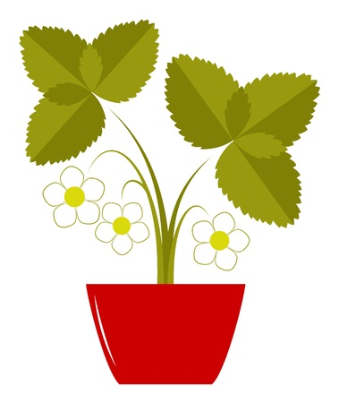 flowering strawberry in pot isolated on white background Vector
