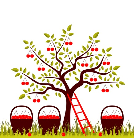 vector cherry tree, ladder and baskets of cherries isolated on white background Vector