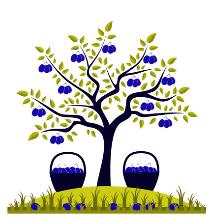 vector plum tree and baskets of plums Illustration