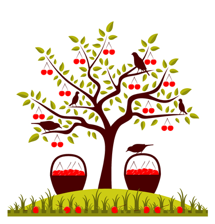 drupe: vector cherry tree, basket of cherries and birds Illustration
