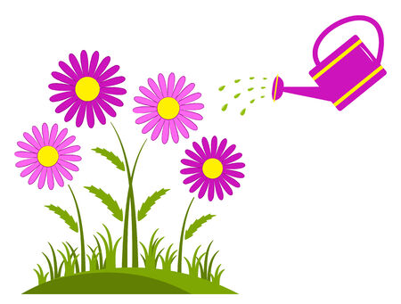 clump: clump of pink daisies and watering can isolated on white background
