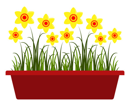 vector daffodils in planter isolated on white background