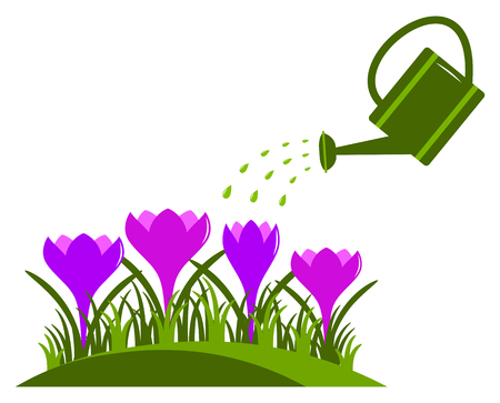 vector crocuses and watering can isolated on white background