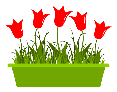 planter: tulips in planter isolated on white background
