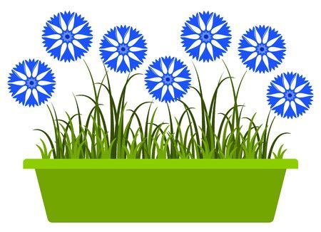 cornflowers: cornflowers in planter isolated on white background