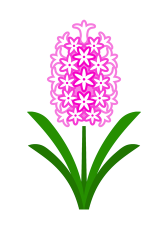 vector pink hyacinth isolated on white background