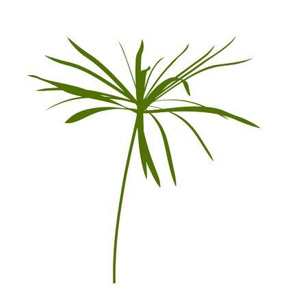 vector umbrella sedge plant isolated on white background