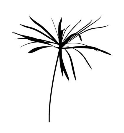 vector umbrella sedge plant isolated on white background 일러스트