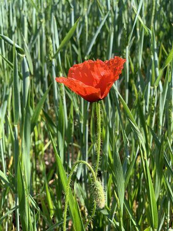 red corn poppy (Papaver rhoeas) in field 스톡 콘텐츠