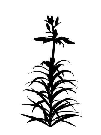 vector lily flower buds silhouette isolated on white background