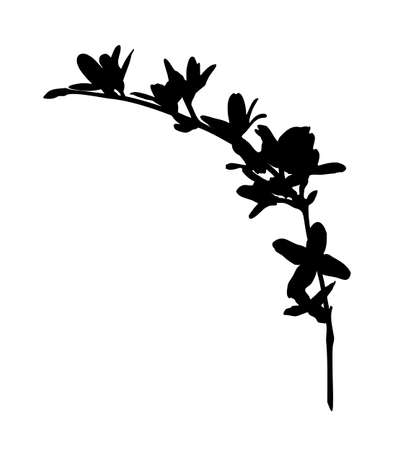 vector flowering forsythia (golden bell) twig silhouette isolated on white background