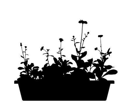 vector pot marigold (Calendula officinalis) in planter silhouette isolated on white background Ilustração