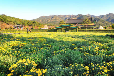 hotbed: Fields covered with chrysanthemums