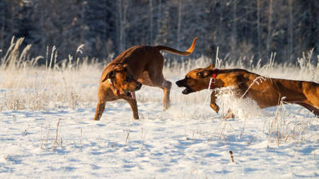 rhodesian: Two Rhodesian Ridgeback playing on the sparkling snow
