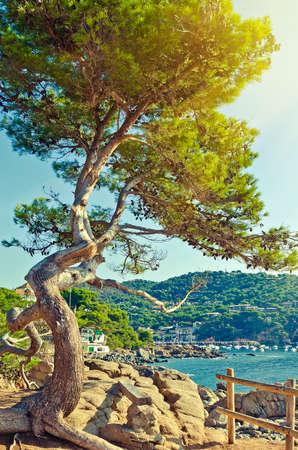 arbol de pino: Grandes árboles de pino verde en el acantilado de la playa. paisaje de verano. Costa Brava, España.