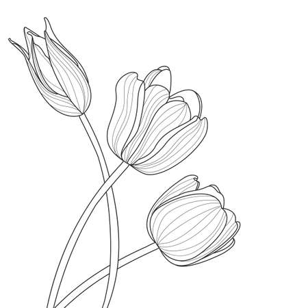 white flowers: tulip flowers line illustration. abstract black and white floral background with place for text. Spring background, greeting card template. Illustration