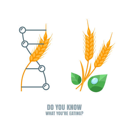 genetically modified crops: Healthy and gmo food concept. Vector illustration of organic wheat and genetically modified wheat. Farming and agriculture illustration of cereals, barley or rye ears. Do you know what youre eating.