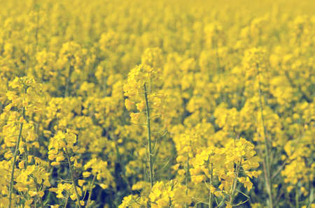 rappi: Blooming field of yellow rapeseed flowers. Stock Photo