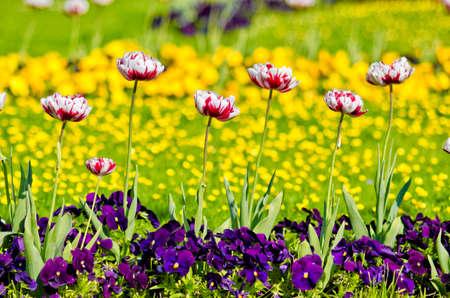 jardines con flores: Blooming macizo de flores con los tulipanes y pancies rojas y blancas flores en los jardines de Mirabell. Primavera o verano jardín de flores. Naturaleza de colores de fondo.