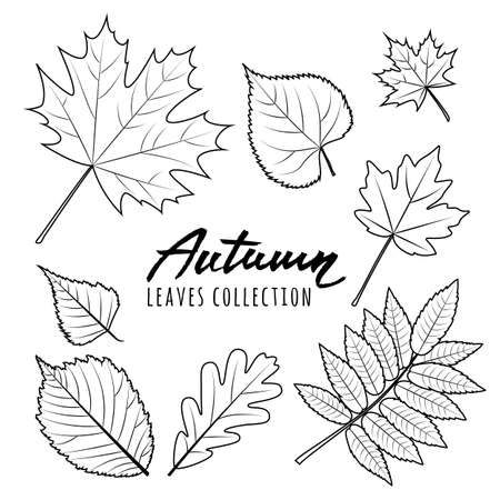 fall leaves on white: Set of vector autumn leaves. Black and white outline hand drawn fall leaves and calligraphy lettering. Isolated design elements.